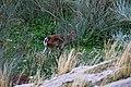 Cabra montes-p.jpg