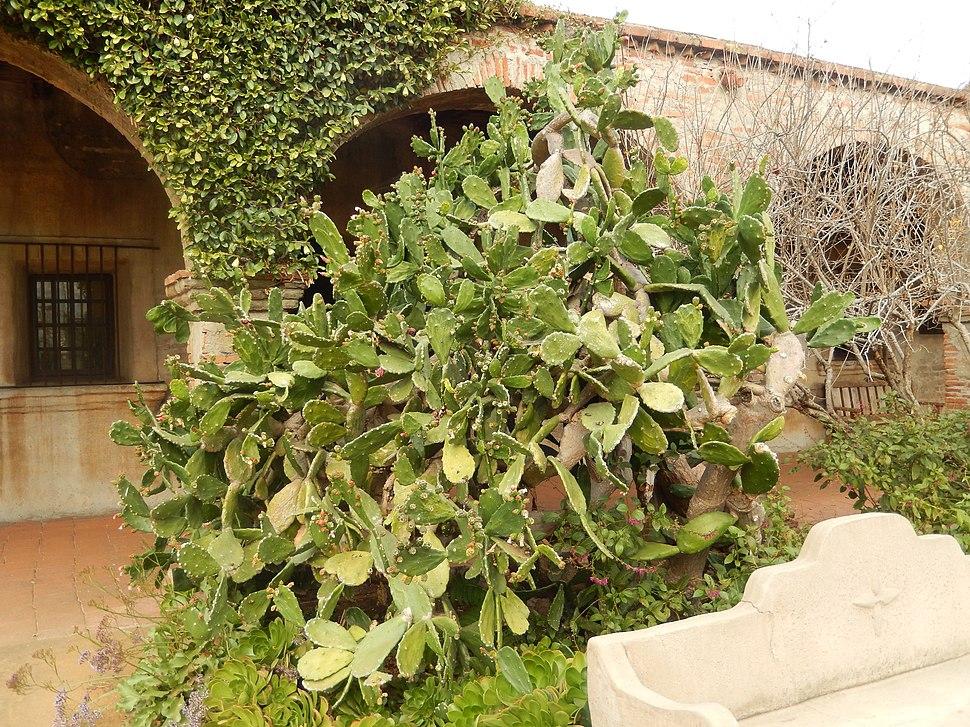 Cactus at San Juan Capistrano mission, CA DSCN0048