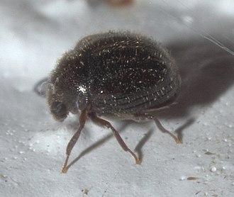 Ptinidae - Caenocara