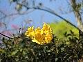 Caesalphynia Amarela - Parque do Jaraguá.jpg