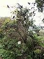 Caesalpinia sepiaria - Miyajima Natural Botanical Garden - DSC02387.JPG