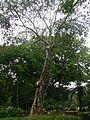 Cajuput tree (1093805577).jpg