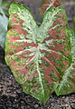 Caladium 'Creamsickle' Leaf 2.JPG