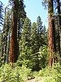 Calaveras Big Trees State Park - South Grove, CA - panoramio (2).jpg