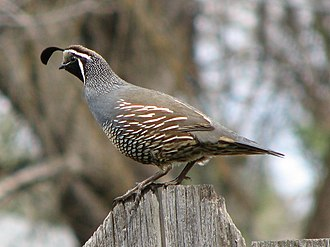 Spokane, Washington - California Quail on fence