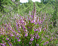 Calluna vulgaris (Heather) Årnäshalvön.jpg