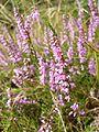 Calluna vulgaris sl3.jpg