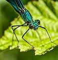 Calopteryx virgo-pjt3.jpg