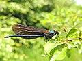Calopteryx virgo (35414236782).jpg