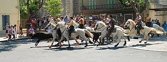 Camargue cattle - Abrivado at Calvisson