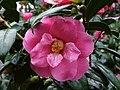 Camellia - geograph.org.uk - 322378.jpg