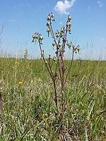 Campanula sibirica (subsp. sibirica) sl3.jpg