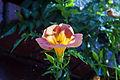 Campsis grandiflora 3.jpg