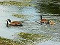 Canada geese on the River Kennet, Eddington - geograph.org.uk - 1353848.jpg