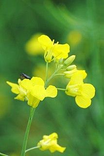 Canola oil low eruca acid cultivar of rapeseed