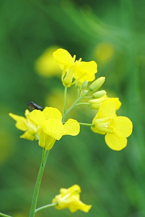 Canola - Close-up of canola blooms