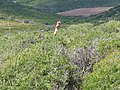 Cap Corse - helping hand in the bushes - panoramio.jpg