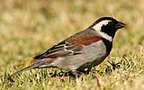 Male Cape sparrow