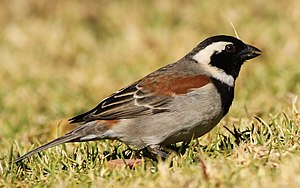 Cape sparrow - Male in Roodepoort, South Africa