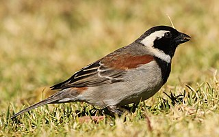 Cape sparrow A small passerine bird from southern Africa