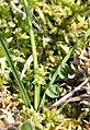 Carex demissa inflorescens (18).jpg