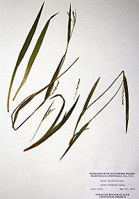 Carex laxiflora BW-1979-0522-0296.jpg