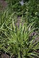 Carex morrowii 'Ice Dance' plant.jpg