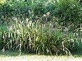 Carex pendula HRM.jpg