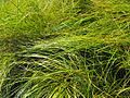 Carexpraegracilis0.jpg