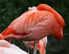 Pink flamingo with grey legs and long neck pressed against body and head tucked under wings