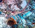 Caribbean Spiny Lobster 3 - Blackbird Caye - Belize 2016 (24239938284).jpg
