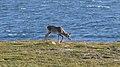 Caribou (Rangifer tarandus) - Port au Choix, Newfoundland 2019-08-19 (32).jpg