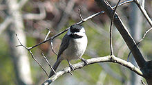 A small bird with a black cap and white cheeks stares forward from a branch