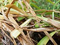 Carolina Mantis mimicry of Lilium lancifolium 04.jpg