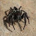 Carrhotus viduus Jumping spider (Salticidae) front view Don Det Laos (focus stacking).jpg