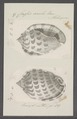 Cassis areola - - Print - Iconographia Zoologica - Special Collections University of Amsterdam - UBAINV0274 084 08 0015.tif
