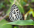 Castalius rosimon - Common Pierrot 02.jpg