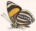 Catagramma Faustina (underside).png