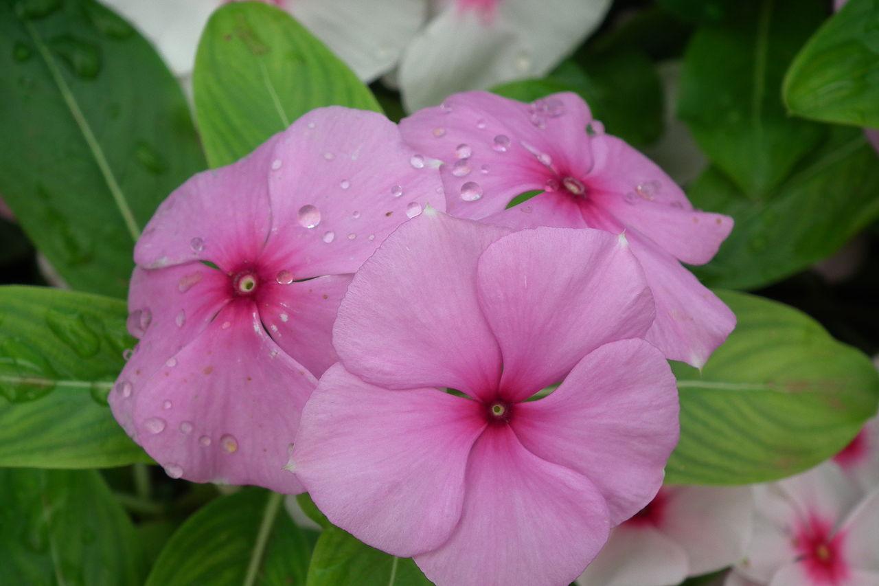 File:Catharanthus roseus aka rosy periwinkle 7155.JPG - Wikimedia ...