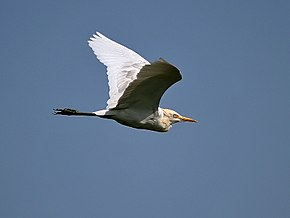 Description de l'image Cattle Egret I IMG 1093.jpg.