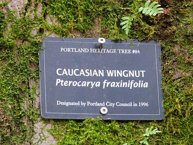 [Image: 640px-Caucasian_Wingnut_sign_-_Portland_Oregon.jpg]