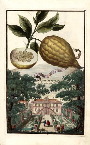 Florentine citron - Image: Cedro da Fiorenza Volkamer 1708 124a