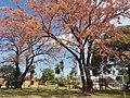 Ceibo Erythrina crista-galli Gallito.jpg