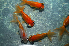 Carassius auratus auratus wikipedia la enciclopedia libre for Criadero de peces goldfish