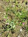 Centaurium pulchellum sl18.jpg