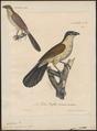 Centropus senegalensis - 1825-1834 - Print - Iconographia Zoologica - Special Collections University of Amsterdam - UBA01 IZ18800151.tif