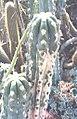 Cereus (Trichocereus?) sp.jpg