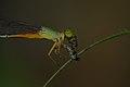 Ceriagrion cerinorubellum with a prey-Kadavoor-2015-08-20-001.jpg
