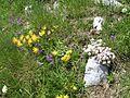 Cervnova kvetena, hreben Maglice.jpg