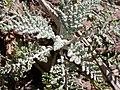 Chaenactis douglasii basal leaf rosette (3326810403).jpg